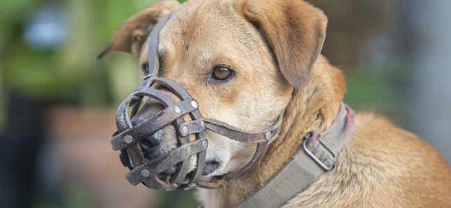 Reglementation chien montreal pitbull