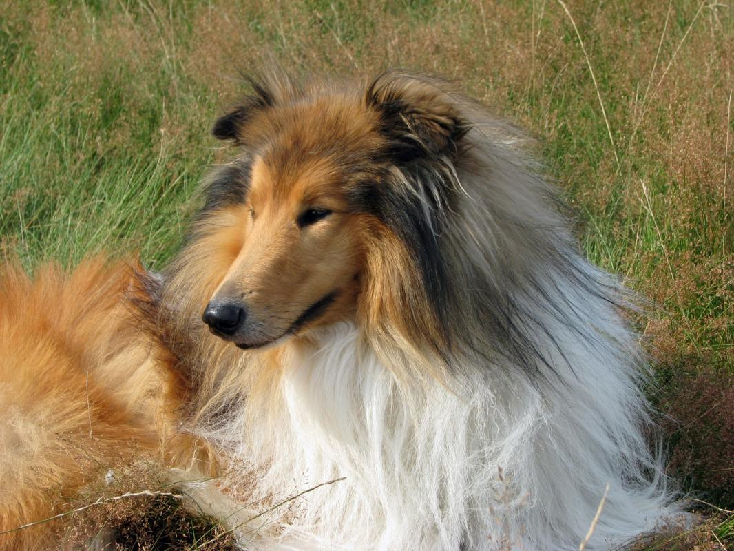 Rough collie dog 1391540004gbc
